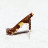 0600 – Caloptilia cornusella