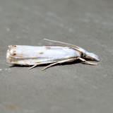 5419 – Gold-stripe Grass-veneer – Microcrambus biguttellus