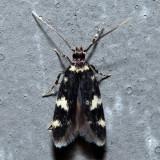 1134 - Four-spotted Yellowneck - Oegoconia novimundi