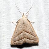 8357 – Slant-lined Owlet – Macrochilo absorptalis
