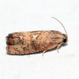 3494 - Filbertworm Moth - Cydia latiferreana