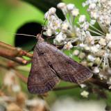 8370 – Bent-winged Owlet – Bleptina caradrinalis