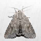 9200 - American Dagger Moth - Acronicta americana