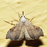 8401 - White-spotted Redectis - Redectis vitrea