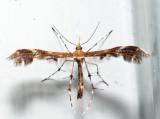 6091.1 – Sheppard's Plume Moth – Geina sheppardi