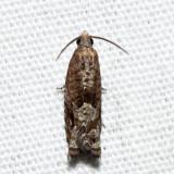 3174.1 – Epiblema luctuosissima?