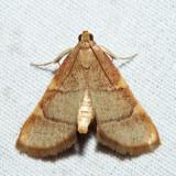 5533 – Yellow-fringed Dolichomia – Hypsopygia olinalis
