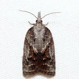 3740 – Tufted Apple Bud Moth – Platynota idaeusalis