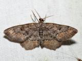 6655 - Esther Variant Moth - Hypagyrtis esther