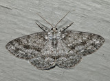6597 – Small Engrailed – Ectropis crepuscularia