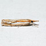 5362 – Double-banded Grass-veneer – Crambus agitatellus