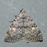8323 - Common Idia - Idia aemula