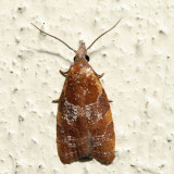 3716 – Spring Dead-leaf Roller – Cenopis diluticostana