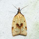 3706 – Mosaic Sparganothis Moth – Sparganothis xanthoides
