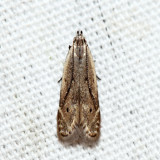 1707 - Monochroa angustipennella