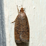 0957 – Dotted Leaftier – Psilocorsis reflexella