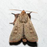 10462 – False Wainscot – Leucania pseudargyria