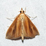 4937 – Streaked Orange Moth – Nascia acutella