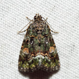 9051 - Small Mossy Lithacodia - Lithacodia musta