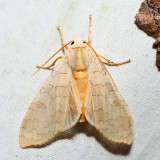 8203 - Banded Tussock Moth - Halysidota tessellaris