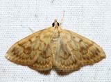 4944 – Angelic Crocidiphora – Crocidophora serratissimalis