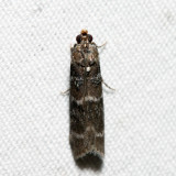 5783 - Striped Birch Pyralid - Ortholepis pasadamia