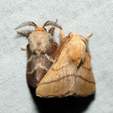 Forest Tent Moth mating with an Eastern Tent Moth