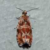 2826 – Lacuna Moth – Olethreutes lacunana