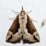 8442 - Baltimore Hypena - Hypena baltimoralis