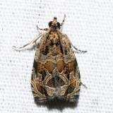 2817 – Raspberry Leafroller – Olethreutes permundana