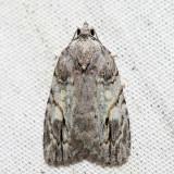 9664 – White-blotched Balsa – Balsa labecula