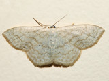 7159 - Large Lace-border - Scopula limboundata