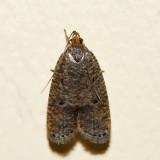 0955 – Oak Leaftier – Psilocorsis quercicella