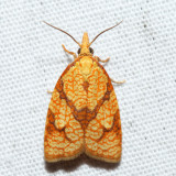 3720 – Reticulated Fruitworm Moth – Cenopis reticulatana
