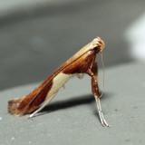 0620 – Caloptilia packardella