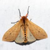 8129 - Isabella Tiger Moth - Pyrrharctia isabella