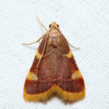 5524 – Clover Hayworm Moth – Hypsopygia costalis