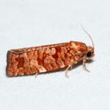 3643 – Jack Pine Budworm Moth – Choristoneura pinus