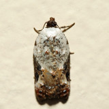 3510 - Snowy-shouldered Acleris - Acleris nivisellana