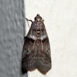 5664 – Hickory Shoot Borer – Acrobasis caryae