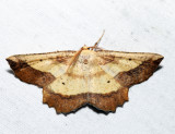 6724 - Saw-wing - Euchlaena serrata