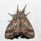 8293 – Sharp-lined Tussock Moth – Dasychira dorsipennata