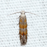 2229 – Stripe-backed Moth – Battaristis vittella