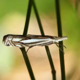 5363 – Pasture Grass-veneer – Crambus saltuellus