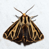 8175 – Little Virgin Tiger Moth – Grammia virguncula