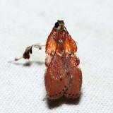 5552 – Boxwood Leaftier – Galasa nigrinodis