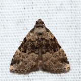 8426 – Visitation Moth – Dyspyralis illocata