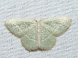 7071 - Blackberry Looper - Chlorochlamys chloroleucaria