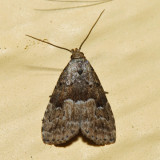 8424 - Hypenodes franclemonti