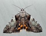 8867 - Charming Underwing - Catocala blandula